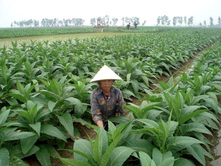 Từ cây thuốc lào, nhiều nông dân Quảng Xương có tiền nuôi con học đại học mà không phải bươn trải vất vả làm thuê nơi đất khách.